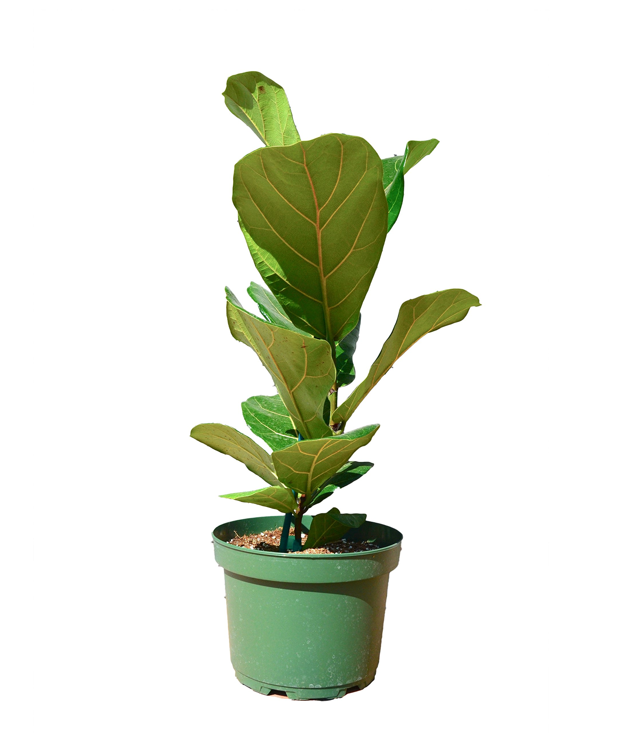 Ficus Lyrata Plant - In 8'' Pot/'Fiddle Leaf Fig'/18'' - 24'' Tall/Live Plant/FREE Care Guide/House Plant/EASY CARE