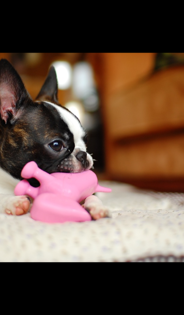 Boston Terrier Wallpaper HD Wallpapers Of Amazonca Appstore For Android