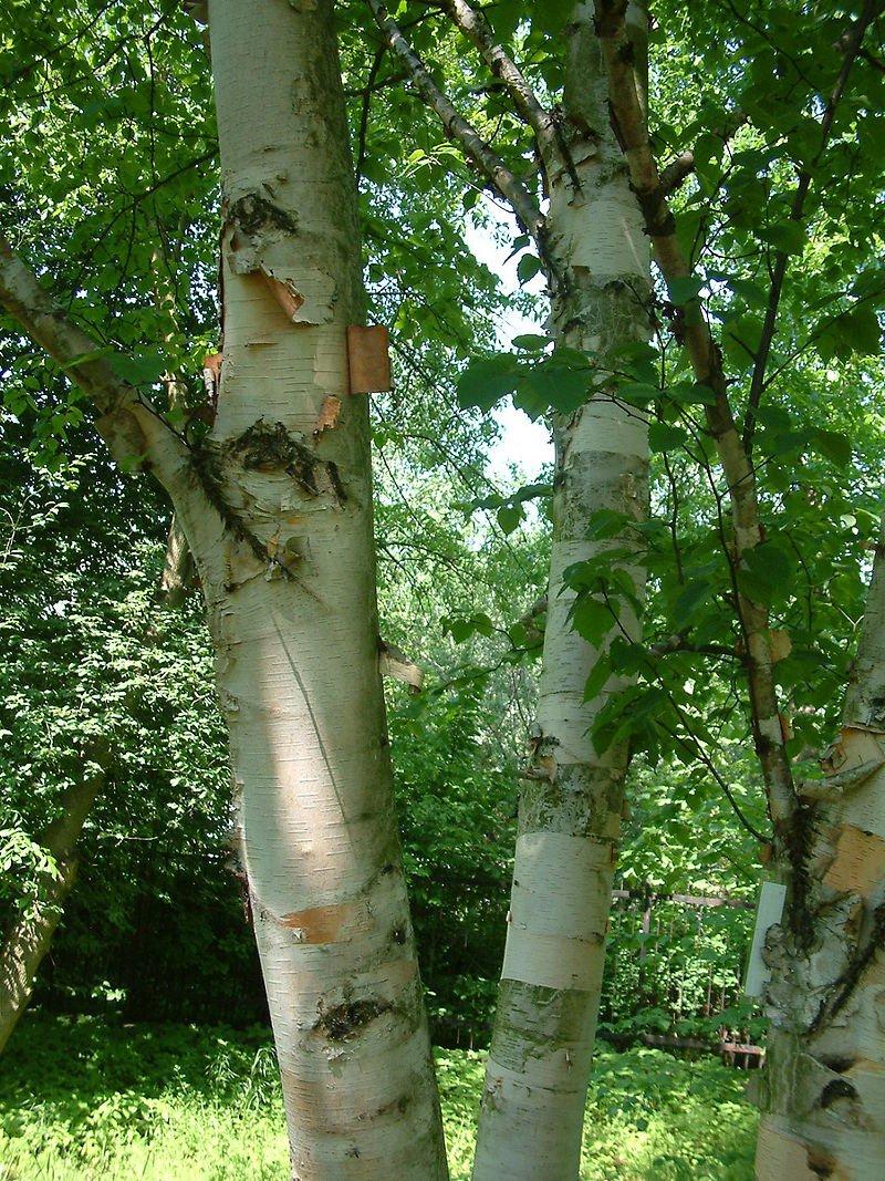 Betula papyrifera, Paper Birch, 0.25g approx 155 seeds Heirloom & Perennial Ltd