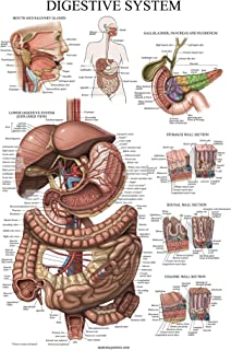 Amazon Com Internal Organs Of The Human Body Anatomical