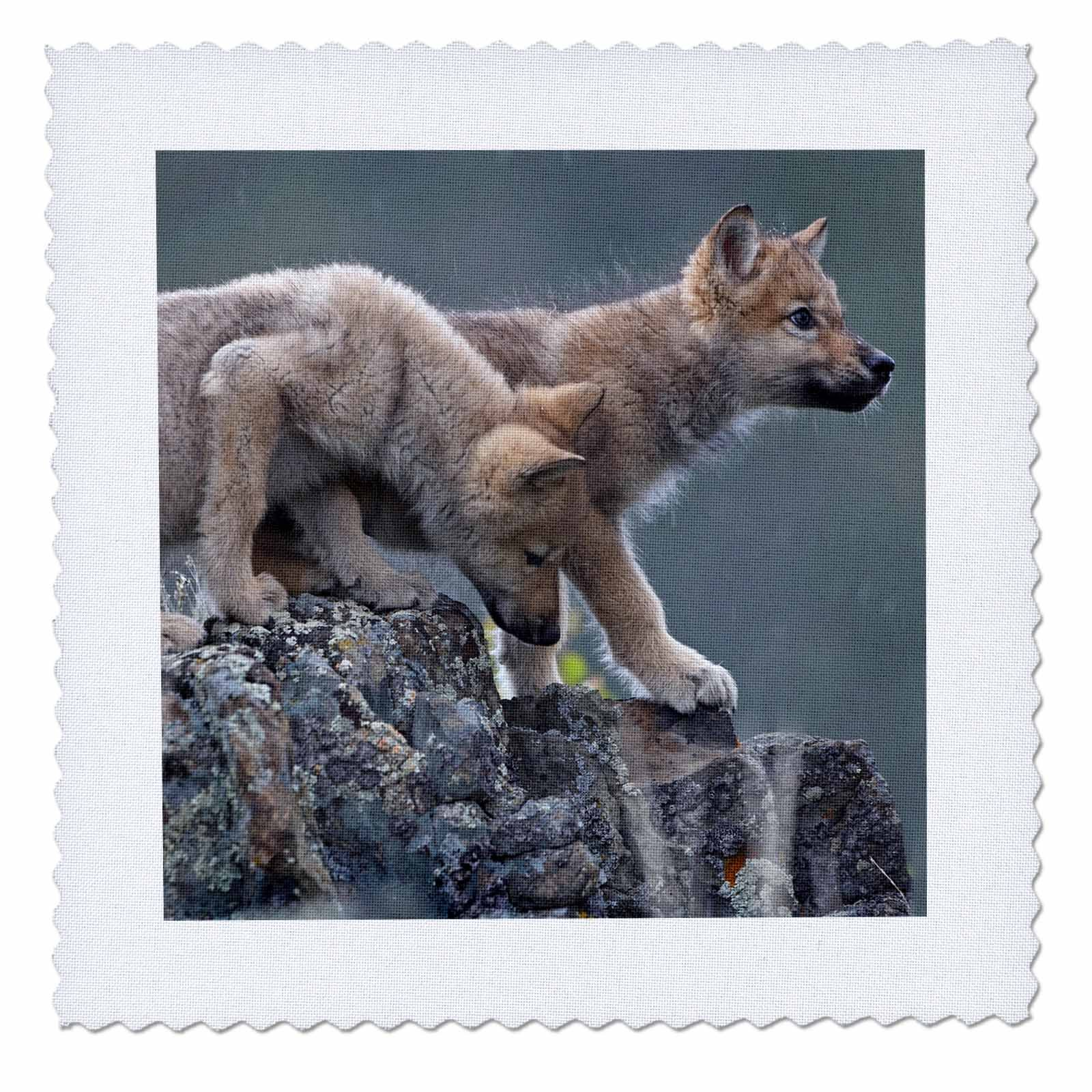 3dRose Danita Delimont - Baby Animals - Gray wolf pups, Canis lupus, on a rock in the snow, Montana - 20x20 inch quilt square (qs_259638_8)