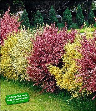 Baldur Garten Ginster Hecketricolor 3 Pflanzen Cytisus Praecox