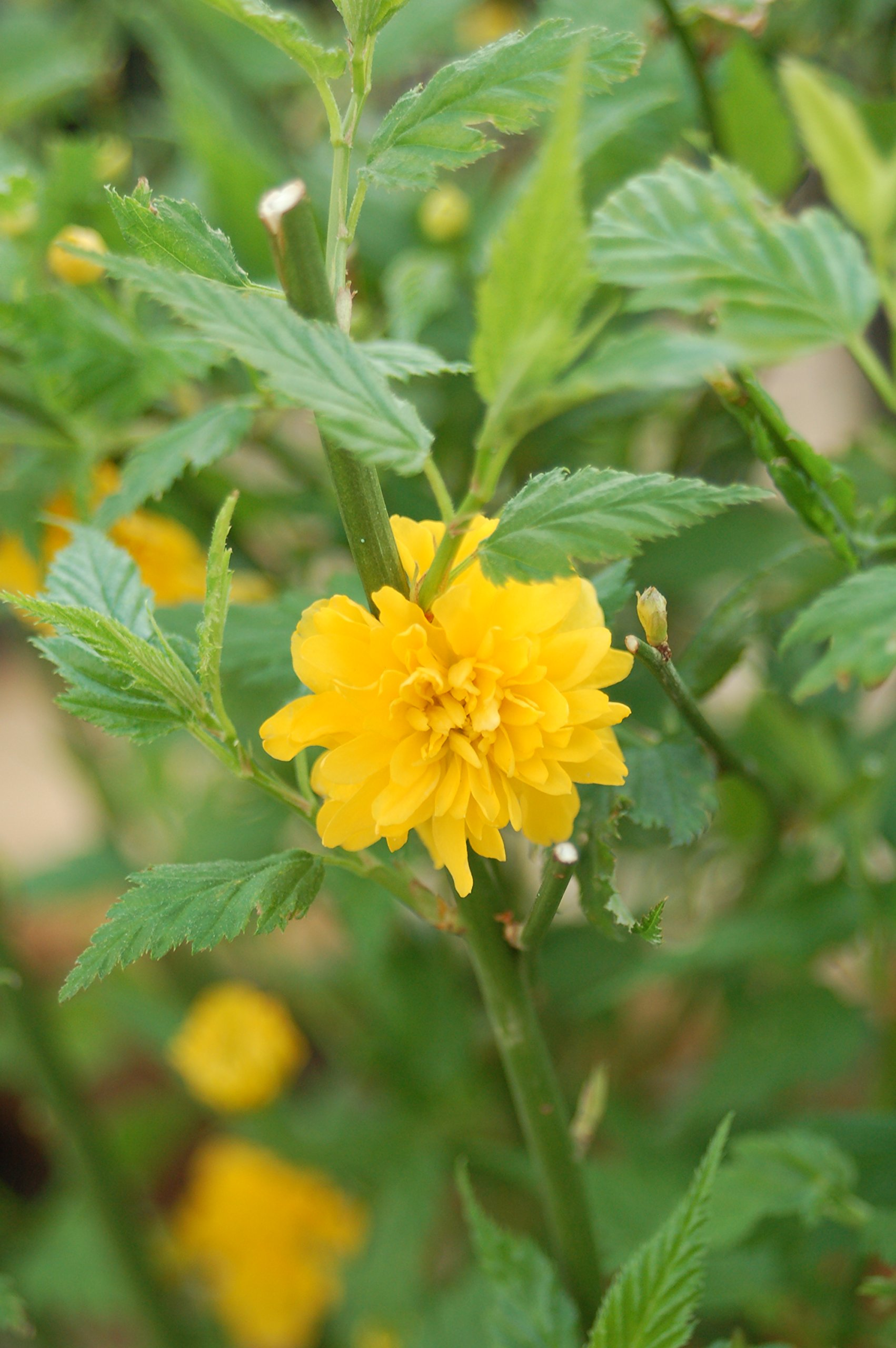 Kerria japonica 'Golden Guinea' (Japanese Kerria) Shrub, yellow flowers, #2 - Size Container by Green Promise Farms (Image #3)