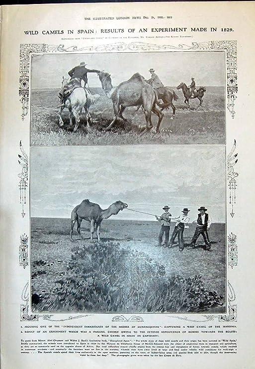 Impresión Antigua de 1910 Camellos Salvajes España Guadalquivir ...
