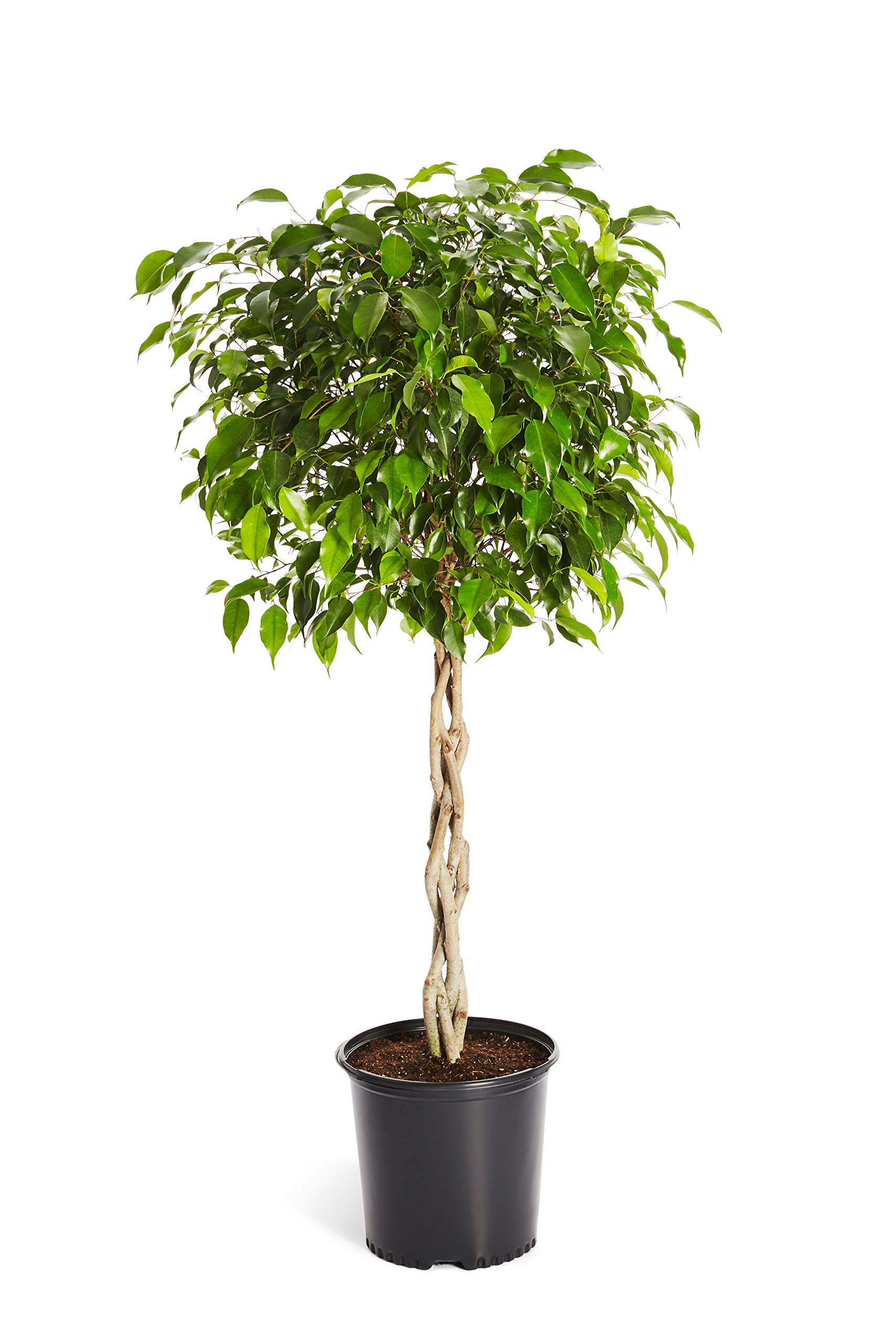 Benjamina Ficus Tree 3-4 ft. Tall - Unique Potted Tree, Perfect as a Live Patio Plants or Indoor Trees - Not Artificial Plants
