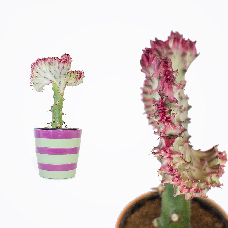 Euphorbia Lactea Cristata / Dragon Bonen / appr. 30cm / Coral Cactus with Colourful Ceramic Pot / Unique Cactus-like Gift / red Inter Flowers GmbH
