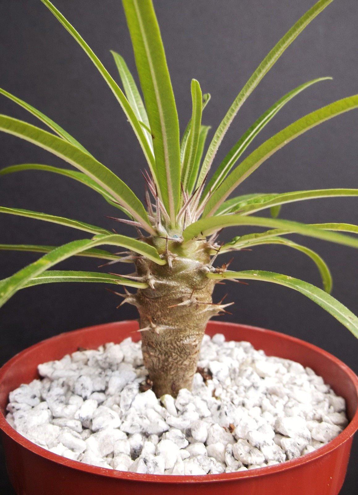 Madagascar Palm Plant Cactus cacti 3 to 4 inches