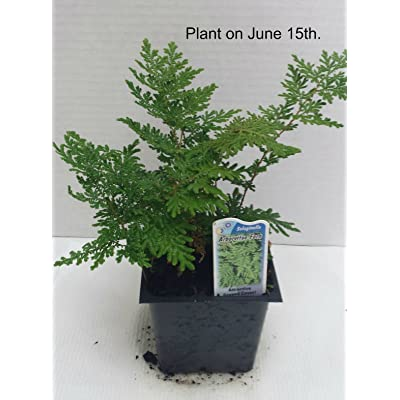 Arborvitae Fern Potted Plants (1 order contains 2 potted plants) : Shrub Plants : Garden & Outdoor