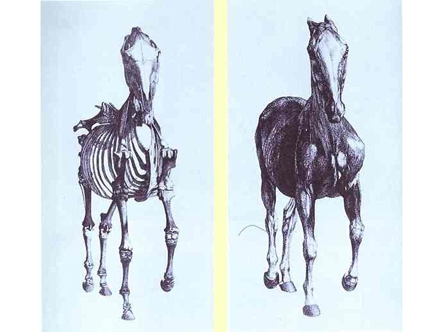 Amazon Frontal View Of The Skeleton Of A Horse Study No 10