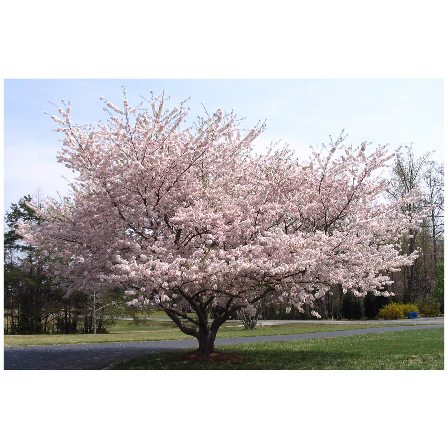 Weeping Yoshino Cherry Tree Shidare - Established Roots 2.5'' Potted 3 plants by Growers Solution