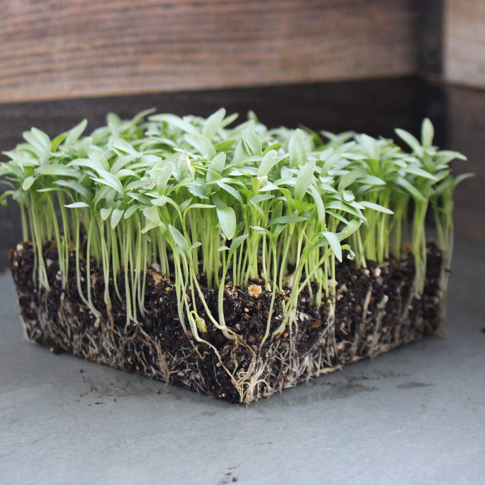 Soil Based Microgreens Seeds Assortment: Micro Greens Seed Collection: Sunflower, Buckwheat, Cilantro, Dun Pea, Rainbow Swiss Chard, Detroit Beets by Handy Pantry (Image #4)