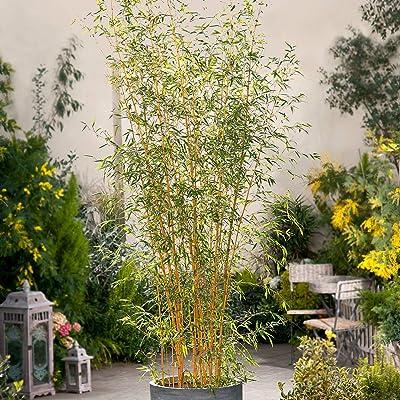 Bio Garden - Rare 100pcs Phyllostachys aureosulcata Flower Seeds Easy to Grow, Exotic Flower Seeds Hardy Perennial Garden : Garden & Outdoor