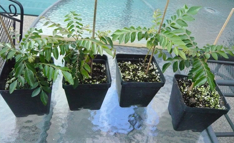 Gamthi Curry Leaf Plant
