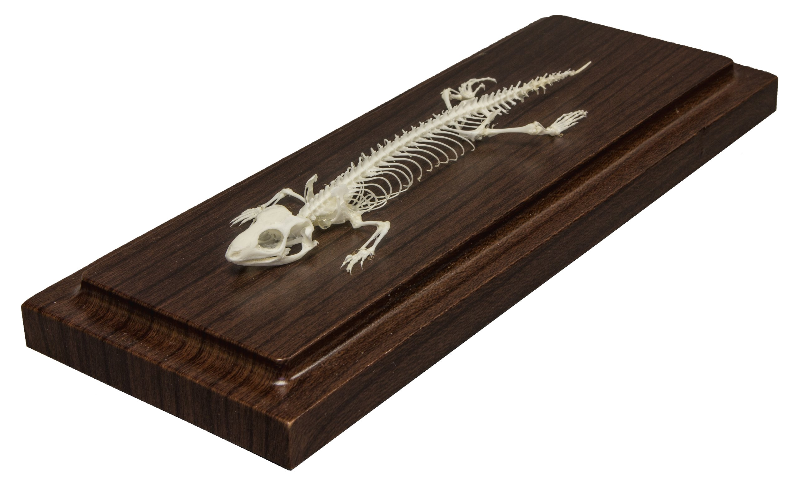 Lizard Skeleton (Articulated) (Natural Bone Economy)