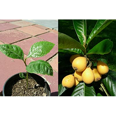 Japanese Plum Loquat Fruit Tree Starter Seedling Plant, P7589 : Loquat Seeds : Garden & Outdoor