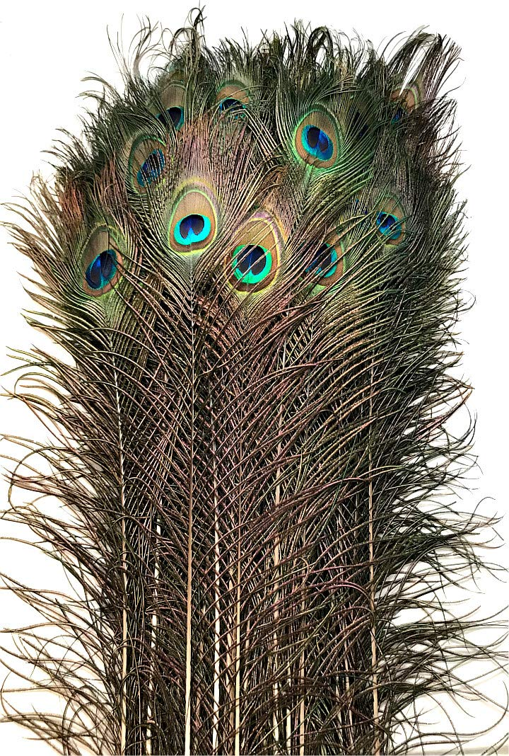Eyed Peacock Tail Feathers 30-35'' (100)