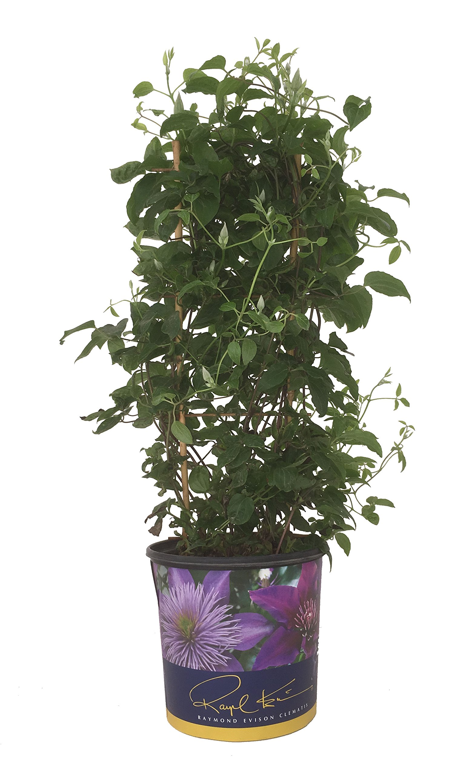 Raymond Evison 20596 Sacha Clematis, 1 gallon, Light Purple