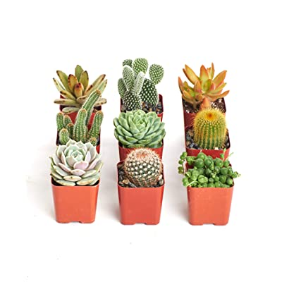 "Instant Cactus/Succulent Collection - 8 Plants 2"" pots : Succulents Seeds : Garden & Outdoor"