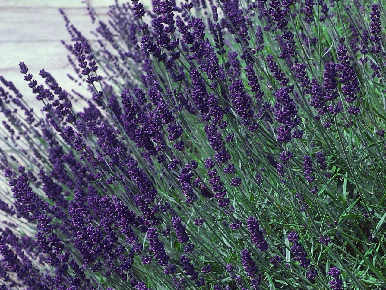 Hidcote Blue Lavender Herb - Calming - Live Plant - Quart Pot