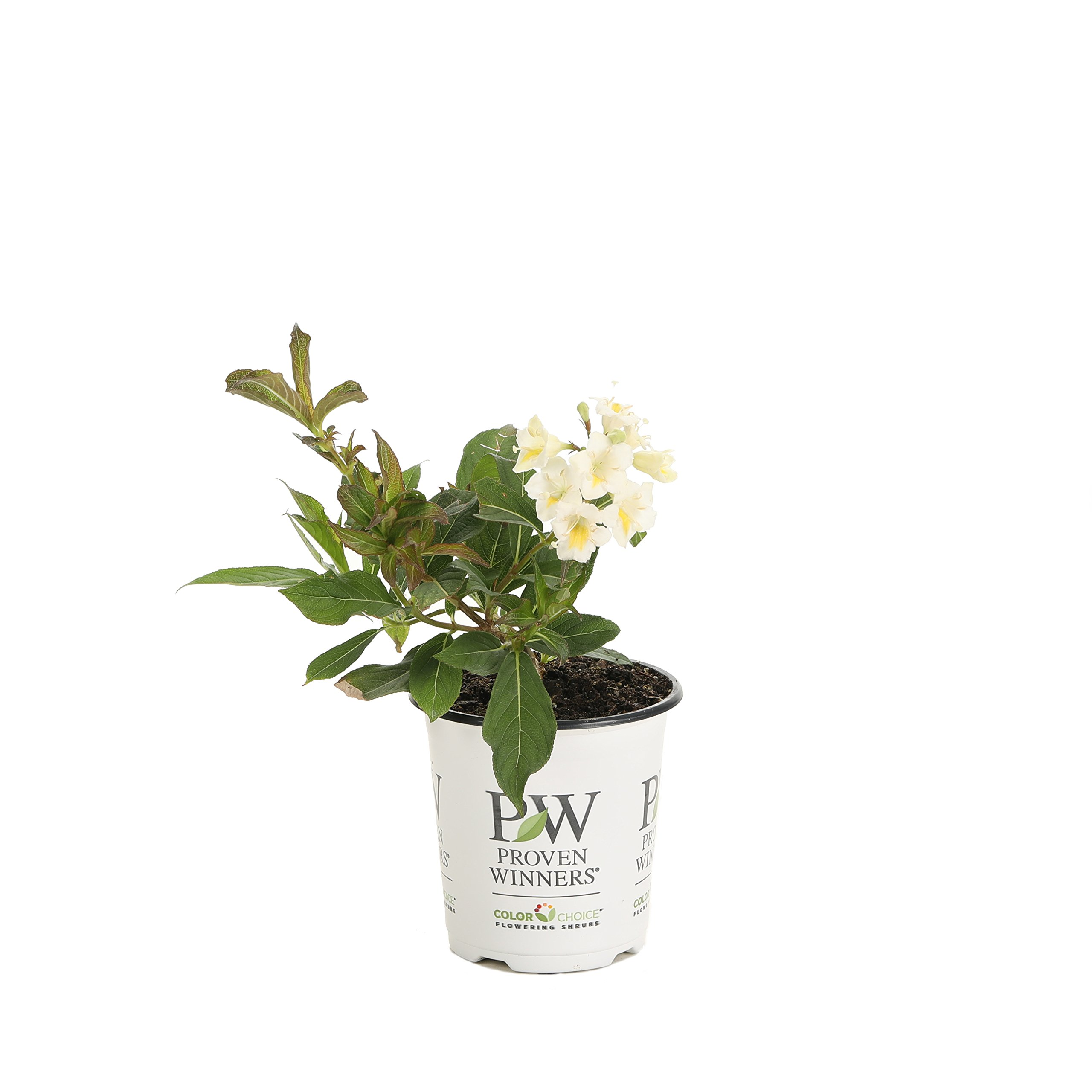 Czechmark Sunny Side Up (Weigela) Live Shrub, White and Yellow Flowers, 4.5 in. Quart