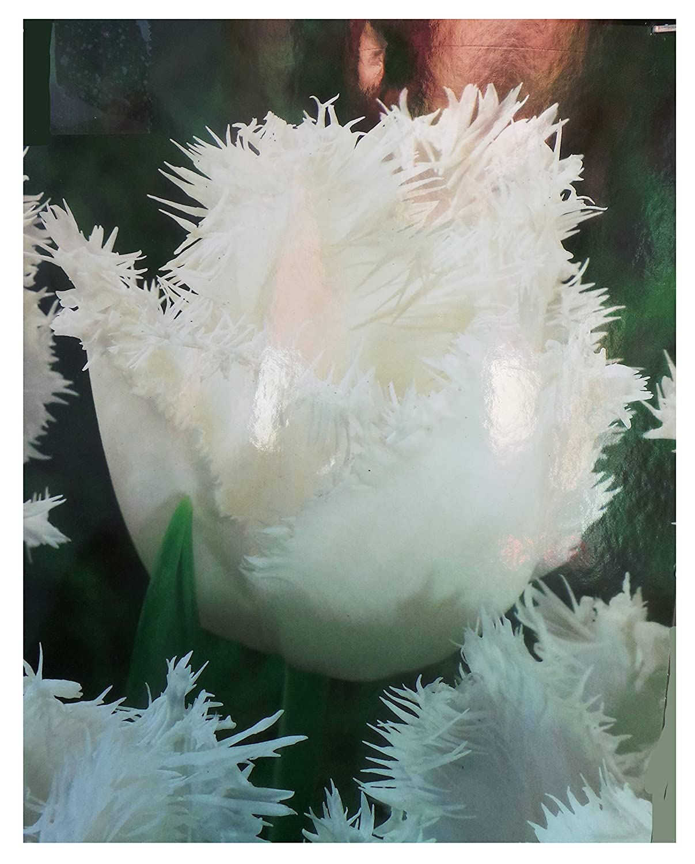 Honeymoon Fringed Tulip Bulbs (100) Bonnies Bulbs