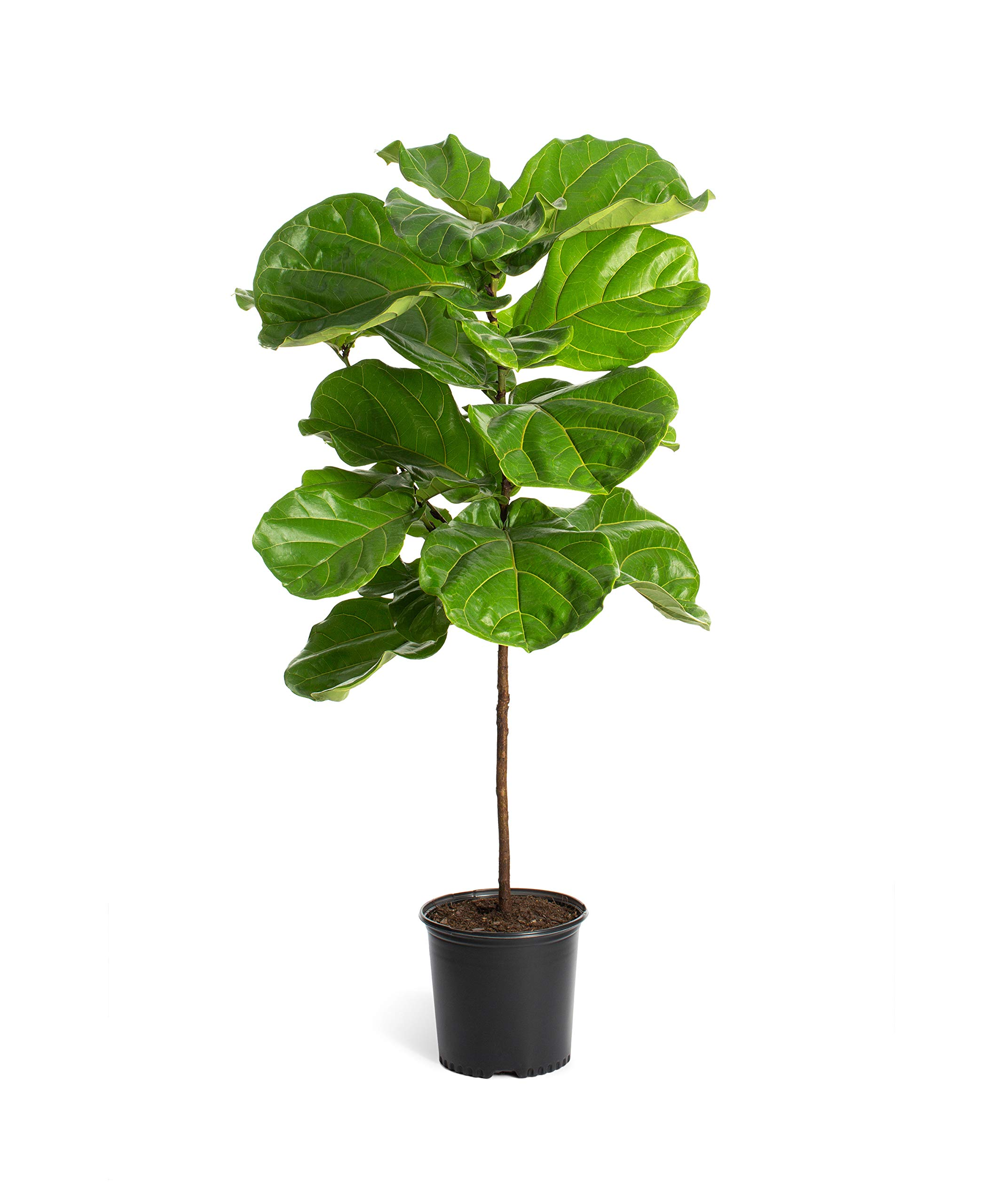 Fiddle Leaf Fig Tree in a 3 Gallon Pot- The Most Popular Indoor Fig Tree- Tall, Live Indoor Fig Trees - Not Artificial Plants | Cannot Ship to AZ by Brighter Blooms
