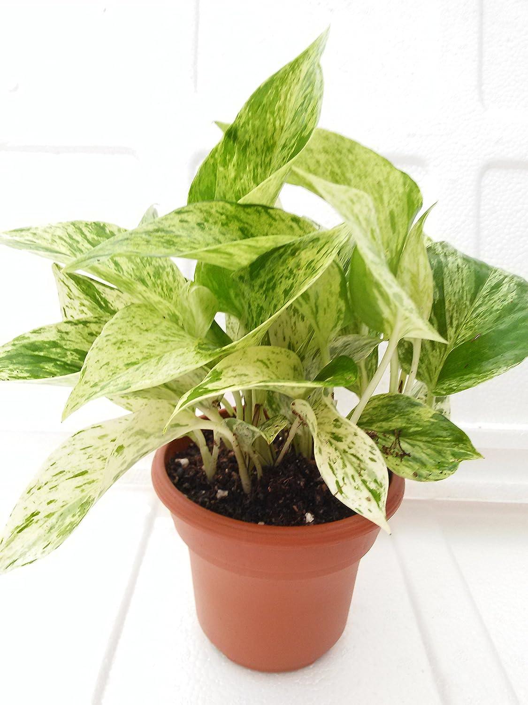 'Marble Queen' Devil's Ivy - Pothos - Epipremnum - 4.5