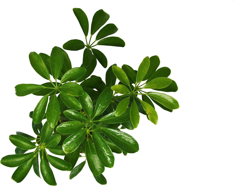 Live Plant Live Schefflera Arboricola in 4 Pot Dwarf Umbrella Tree FREE Care Guide