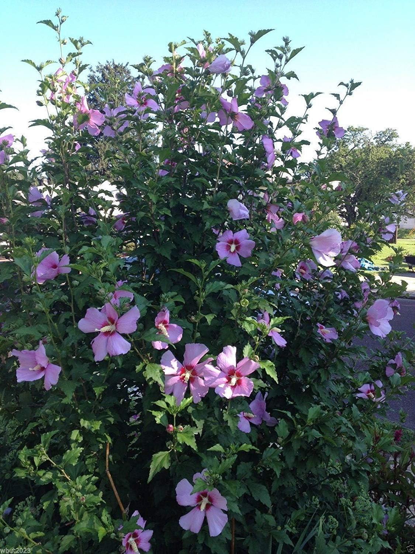 Pets Delite® HIBISCO, Rosa de Sharon 50 Semillas (Hibiscus syriacus) -Cold Hardy, Perennial!