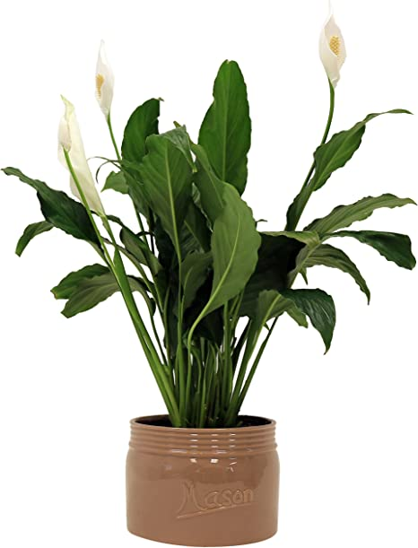 Amazon Com Costa Farms Premium Live Indoor Peace Lily