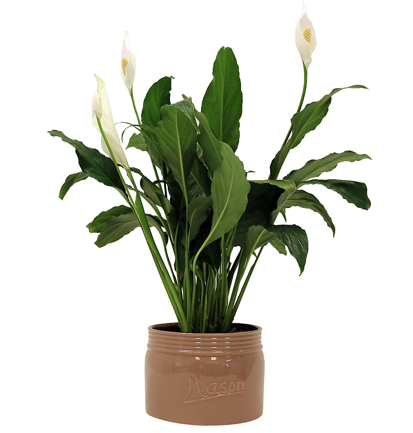 Amazon costa farms premium live indoor peace lily amazon costa farms premium live indoor peace lily spathiphyllum tabletop plant brown ceramic decorator pot shipped fresh from our farm izmirmasajfo