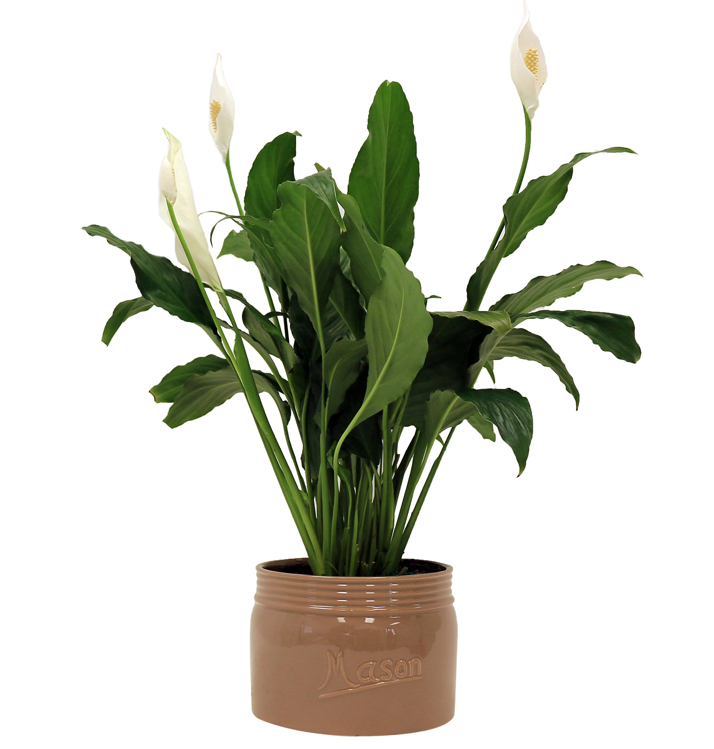 Costa Farms, Premium Live Indoor Peace Lily, Spathiphyllum, Tabletop Plant, Brown Ceramic Decorator Pot, Shipped Fresh From Our Farm, Excellent Gift by Costa Farms