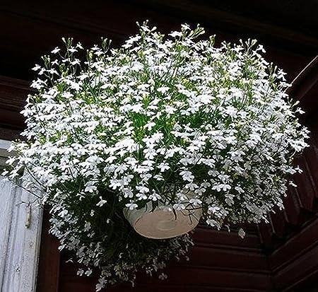Flower Seeds Trailing Lobelia Belosnezhnyy Kaskad ã White Cascade