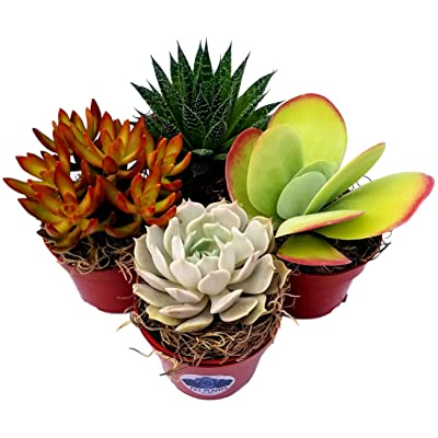 Fat Plants San Diego Live Succulent Plant Variety Collection : Garden & Outdoor