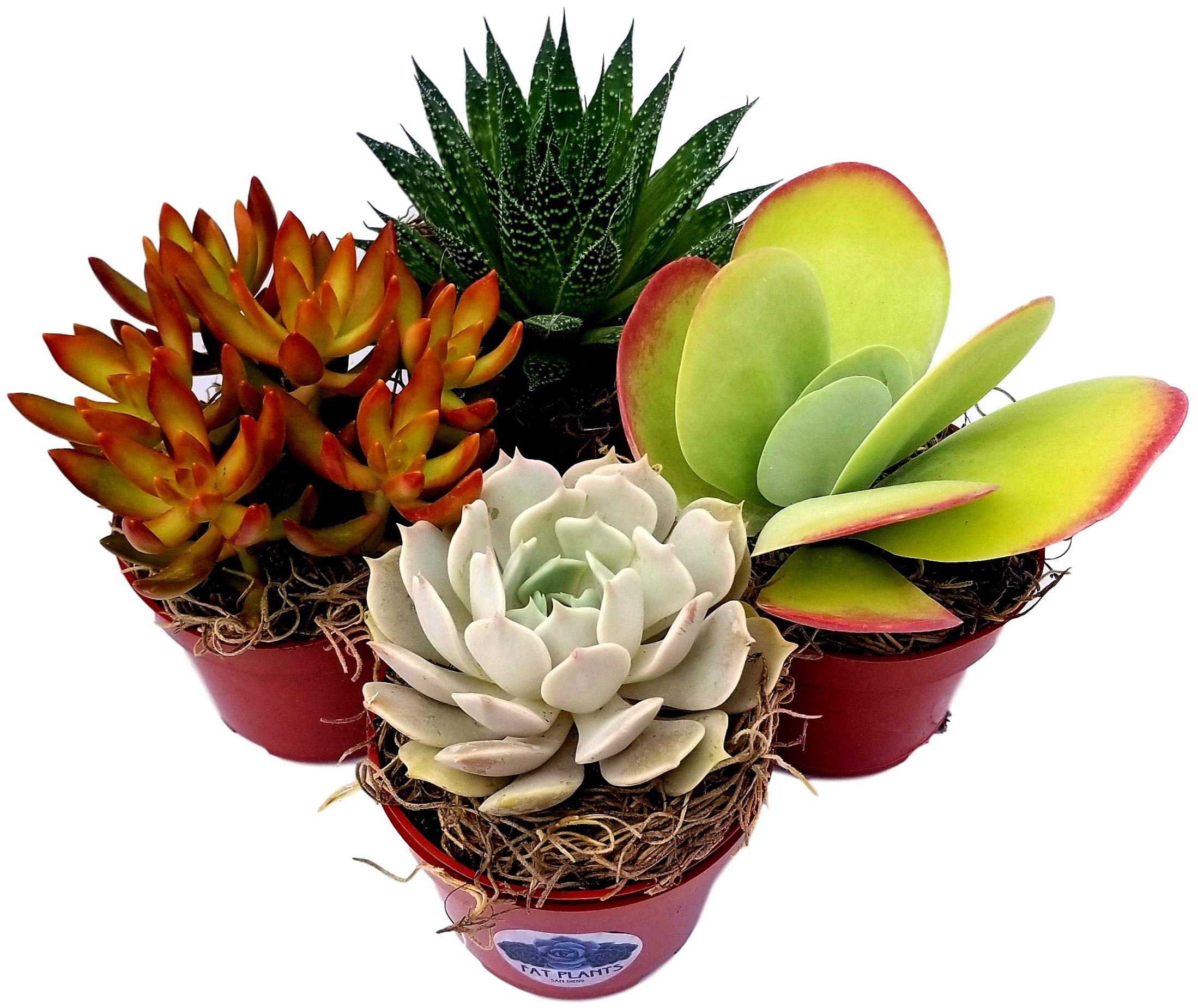 Fat Plants San Diego Live Succulent Plant Variety Collection