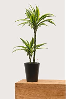 Topf in anthrazit gro/ße robuste Zimmerpflanze XXL in Hydrokultur f/ür Schatten Howeia forsteriana 1 Pflanze Evrgreen Kentiapalme 120 cm inkl