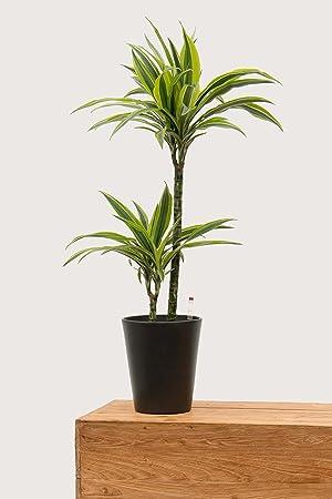 Evrgreen Drachenbaum Lemon Line 80 cm inkl. Topf in anthrazit große ...