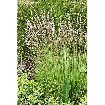 1/4 Pound of Tufted Hairgrass (Seeds) : Garden & Outdoor