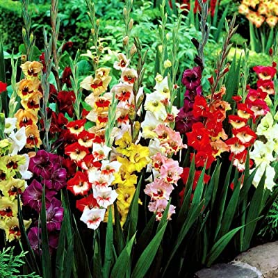 Gladioli Large Flowering Mix - 50 Flower Bulbs 8/10cm: Garden & Outdoor