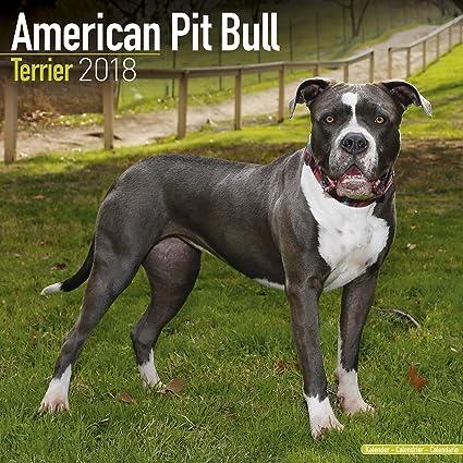American Pit Bull Terrier Calendar Dog Breed Calendars 2017
