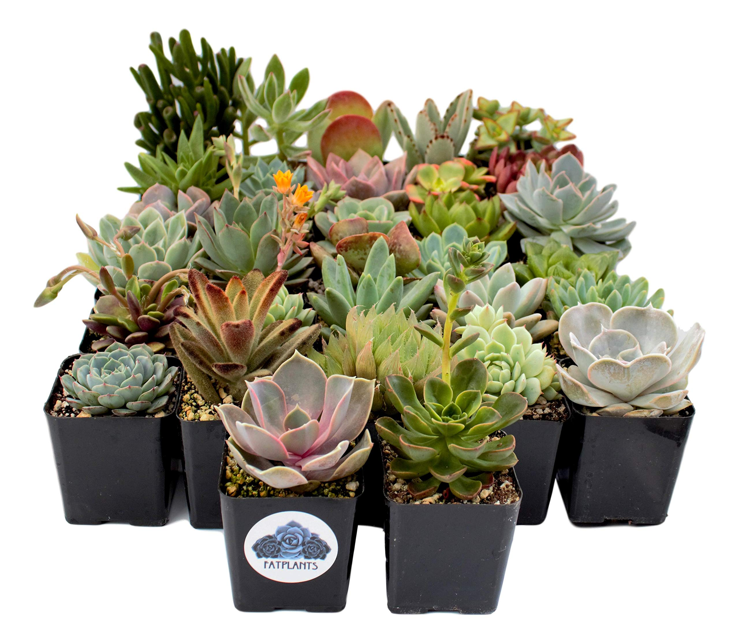Fat Plants San Diego Premium Succulent Plant Variety Package. Live Indoor Succulents Rooted in Soil in a Plastic Growers Pot (32) by Fat Plants San Diego