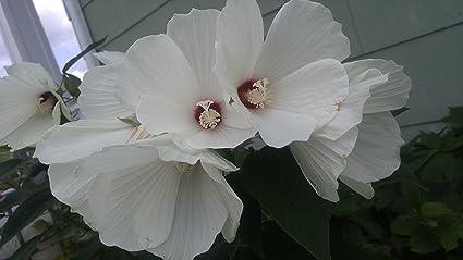 Amazoncom 25 Luna White Hardy Hibiscus Hibiscus Moscheutos Flower