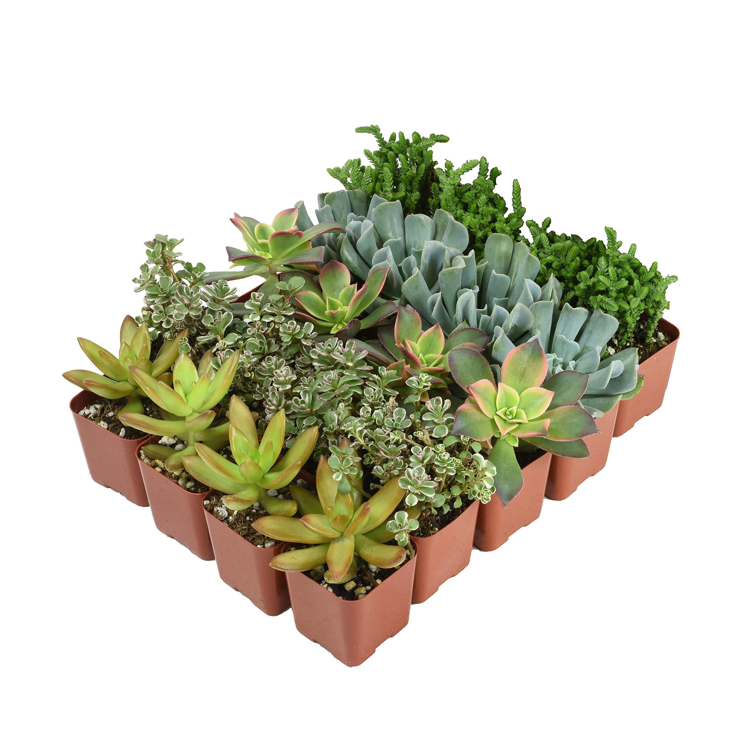 Altman Plants Mini Live Assorted Succulents Weddings, Party favors, DIY terrariums, Gifts 2'' 20 Pack by Altman Plants (Image #3)