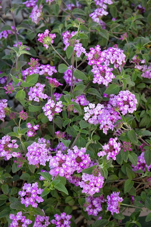 Amazon Com 2 Plants Lantana Purple Flowering Plant