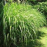 Miscanthus sinensis Silberfeder - 1 plante