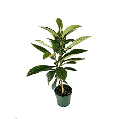 Bronze Loquat - Live 6 Inch Plant - Eriobotrya Japonica - Edible Fruit Bearing Patio Tree : Garden & Outdoor