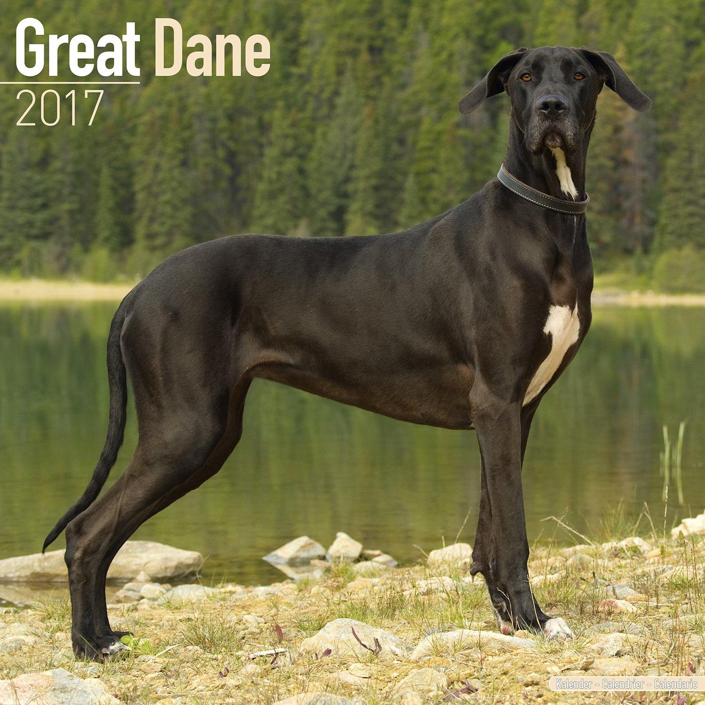 Read Online Great Dane Calendar 2017 (Euro) - Dog Breed Calendars - 2016 - 2017 wall calendars - 16 Month by Avonside PDF