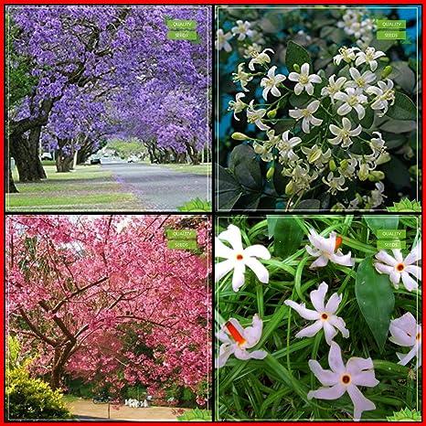 Creative Farmer Gardening Plant Seed Combo Tree Seeds Jacaranda