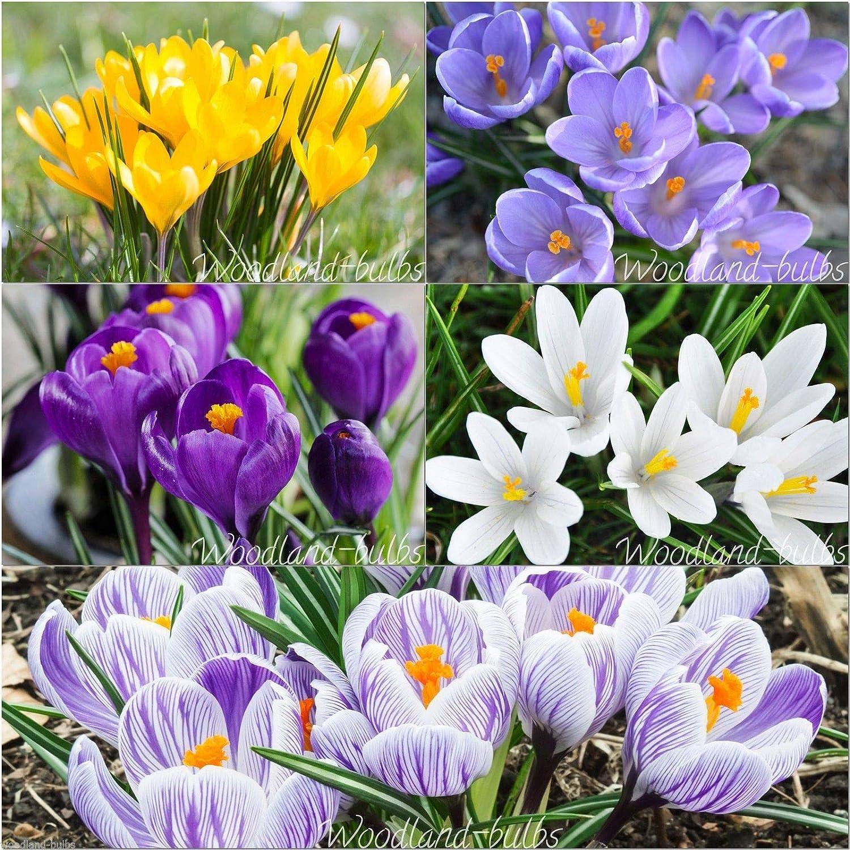 """Portal Cool 50: Crocus Crocus Bulbos grande temprano de la planta del azafrán que florecen en primavera """"Con los bulbos Galanthus"""