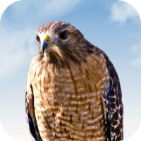 Hawk Sounds